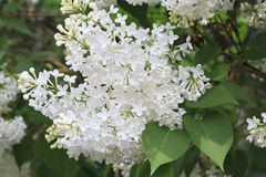 Beautiful branch of white lilac Stock Image