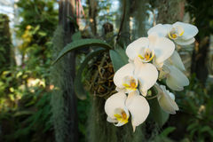Beautiful branch of white orchids in a tropical forest. Stock Photo