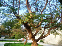 A beautiful branched tree. The a beautiful branched tree Stock Photo