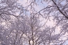 Beautiful branches covered by snow in miracle winter forest. Beautiful frozen trees. Evening. Saint-Petersburg Royalty Free Stock Photos