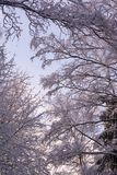 Beautiful branches covered by snow in miracle winter forest. Beautiful frozen trees. Evening. Saint-Petersburg Royalty Free Stock Photography