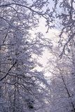 Beautiful branches covered by snow in miracle winter forest. Beautiful frozen trees. Evening. Saint-Petersburg Stock Photography