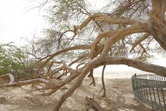 Beautiful branches extending outward, tree of life. A 400 year-old mesquite tree which lives in the middle of desert Stock Images