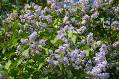 Beautiful branches of large blooming lilacs bush Stock Photography