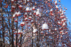 Beautiful branches mountain ash covered with snow. Beautiful branches mountain ash covered with snow over blue sky background Royalty Free Stock Image