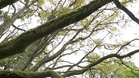 A beautiful branches of an old oak tree. From below stock footage