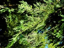 Beautiful branches, paws of thuja. Beautiful branches, paws of thuya green, gently illuminates the sun Stock Images