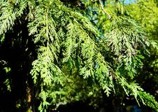 Beautiful branches, paws of thuja. Beautiful branches, paws of thuya green, gently illuminates the sun Stock Photo