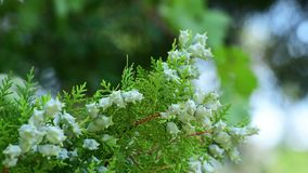 The beautiful branches of thuja with cones. Beautiful branches of thuja with cones stock video footage