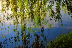 Weeping Willow tree reflecting into the calm water of a river. Beautiful branches of a weeping willow tree reflecting into the calm water of a river stock image