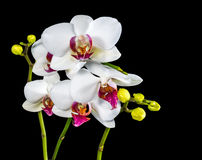 Beautiful branches white and red orchid flower (phalaenopsis) wi Stock Images