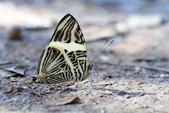 Beautiful Brazilian butterfly sighted in remnant of Atlantic Rai Royalty Free Stock Photography
