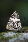 Beautiful Brazilian butterfly sighted in remnant of Atlantic Rai Stock Image