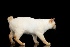 Beautiful breed without Tail Mekong Bobtail Cat Isolated Black Background Royalty Free Stock Photo