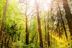 Mysterious forest trees in sunlight, skyview royalty free stock photos