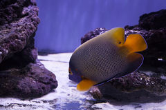 Beautiful bright angelfish Royalty Free Stock Photography