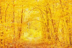 Beautiful bright autumn background. Yellow trees in enchanting forest. Autumn leaves fall from branches on sunny day. Sun shining. Orange foliage on ground royalty free stock image