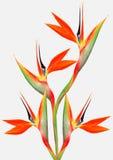 Beautiful Bright Bird Of Paradise Bouquet Royalty Free Stock Photo