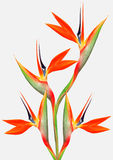 Beautiful bright bird of paradise bouquet Royalty Free Stock Photo