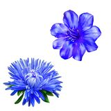 Beautiful bright blue spring Flower, Aster. Blue Stock Image