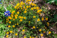 Beautiful Bright Bristle-Leaf Dyssodia  Wildflowers in a Field o Stock Images