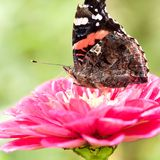 Beautiful butterfly sits on a pink fluffy flower. Beautiful bright butterfly collects nectar on a pink flower royalty free stock photos