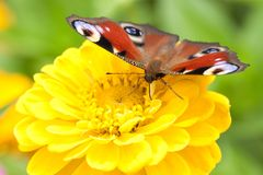 Beautiful bright butterfly sits on a fluffy yellow flower. Beautiful motley butterfly collects nectar on a yellow flower royalty free stock photo