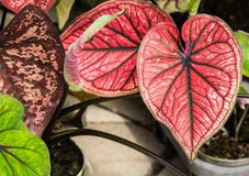 Beautiful bright Caladium leaf in garden. Beautiful bright Caladium leaf in garden,Queen of the Leafy Plants Royalty Free Stock Photos