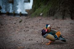 Mandarin duck from Warsaw park. Beautiful bright and color duck from the Warsaw park royalty free stock image
