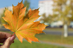 Beautiful bright colored autumn leaves in hand stock photo