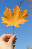 Beautiful bright colored autumn leaves in hand royalty free stock photo