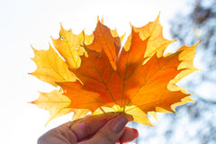 Beautiful bright colored autumn leaves in hand royalty free stock images
