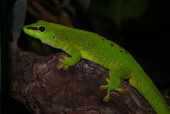 Beautiful, bright colored gecko Royalty Free Stock Images