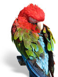 Beautiful bright colored macaw parrot sleeping Royalty Free Stock Photos