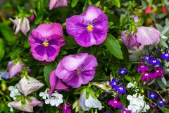 Beautiful violet pansies in the home garden. Beautiful, bright colored pansies in the garden close up royalty free stock photos