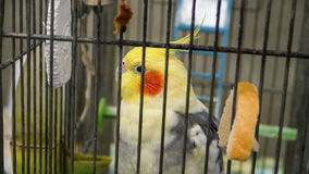 Beautiful bright colorful parrot in a cage Royalty Free Stock Image