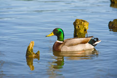 Beautiful bright duck mallard bird swimming in a lake river. With reflection Stock Photo