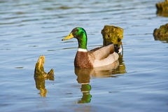 Beautiful bright duck mallard bird swimming in a lake river. With reflection Royalty Free Stock Photos
