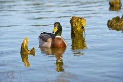 Beautiful bright duck mallard bird swimming in a lake river. With reflection Stock Image