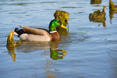 Beautiful bright duck mallard bird swimming in a lake river. With reflection Stock Images