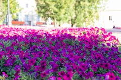 Beautiful bright flower bed flowers Impatiens. Green trees in the background, urban buildings. Red flowers with green leaves. Landscaping flowers royalty free stock photography