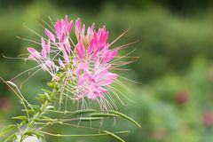 Flower Cleome hassleriana blooming in a summer park or in the garden, macro. Beautiful bright flower Cleome hassleriana on a blurred summer background stock photo