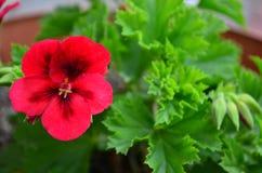 Beautiful bright flower geranium in a pot. Close up stock photo