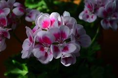 Beautiful bright flower geranium in a pot. Close up stock photos