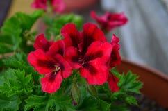 Beautiful bright flower geranium in a pot. Close up stock image