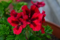 Beautiful bright flower geranium in a pot. Close up royalty free stock images
