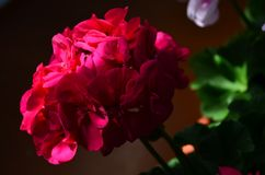 Beautiful bright flower geranium in a pot. Close up royalty free stock photo