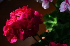 Beautiful bright flower geranium in a pot. Close up royalty free stock photography