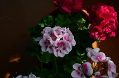 Beautiful bright flower geranium in a pot. Close up royalty free stock image