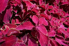 Beautiful and bright flowers of the Coleus Royalty Free Stock Images